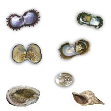 Les mollusques et les perles