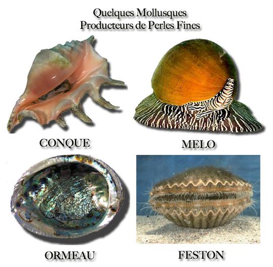 Mollusques aptent à produire des perles fines dans le monde marin