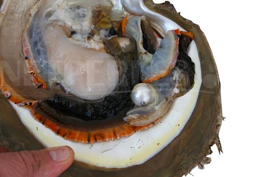PINCTADA MAXIMA dalle labbra argentate - ostrica perlifera che produce grandi perle bianche dai riflessi argentati